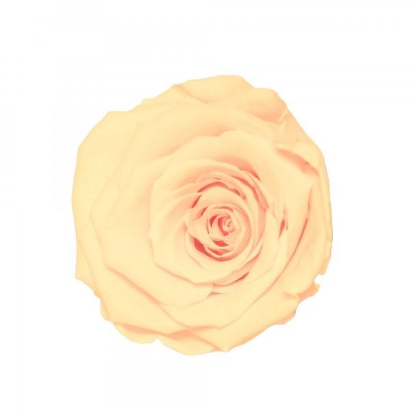 Rose pearl white (champagner)