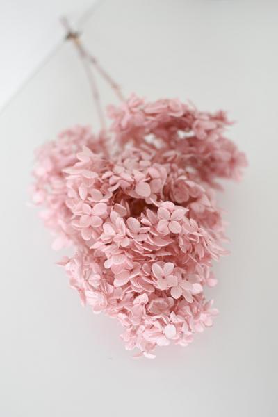 Hortensie Peegee Cloud pink