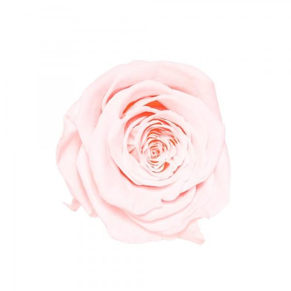 Rose bridal pink (Rosa)